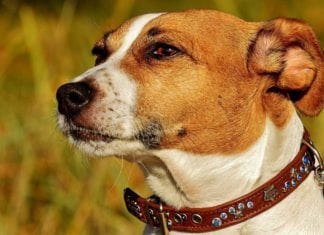 Are Jack Russell Terriers Hunting Dogs?