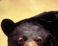 American Black Bear - Photo Courtesy of U.S. Fish and Wildlife Service