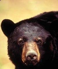 American Black Bear - Photo Courtesy of U.S. Fish and Wildlife Service