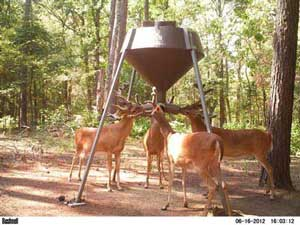 Whitetail Deer Feeding at Spring Feeder
