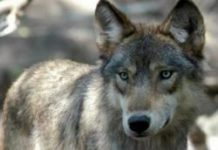 Michigan Timber Wolf
