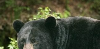 Black bear hunting and baiting