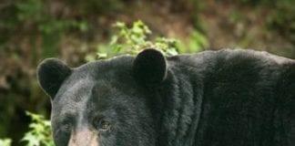 Black bear hunting and baiting