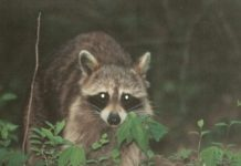 Raccoon Hunting