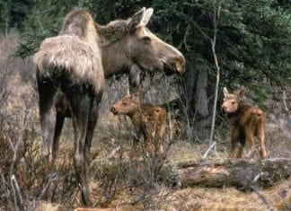 Young Moose are more likely to die from a tick infestation than adults Moose.