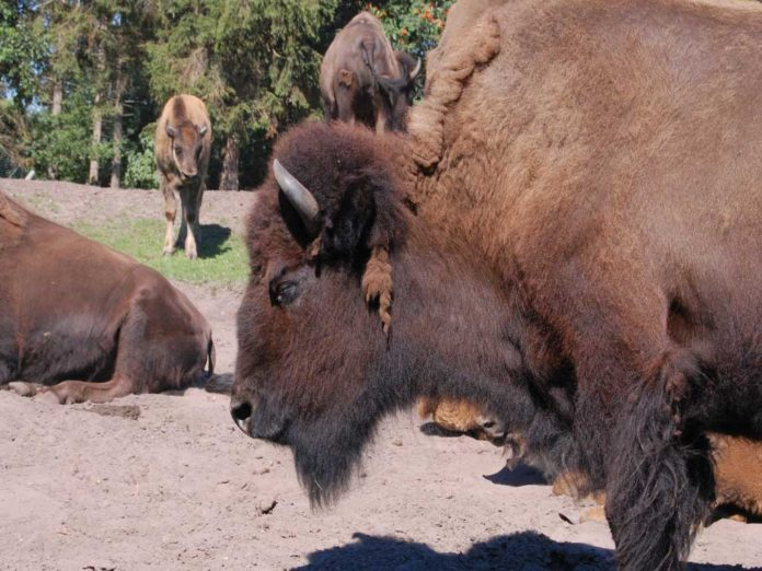 Minnesota DNR wants to reintroduce Bison into Minneopa State Park