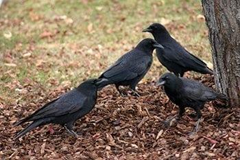 Utah Crow hunt