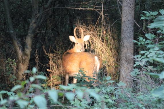 White-tail Spike Buck | Photographer: Gary Reece
