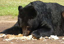 Is baiting bears unethical or a necessary part of successful Bear Management?