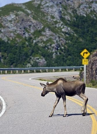 Watch for Moose on the Roadways