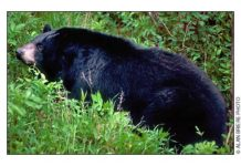 New Hampshire Black Bear