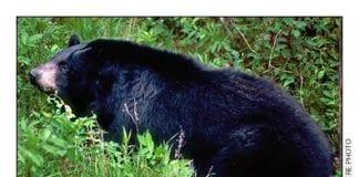 New Hampshire Black Bear
