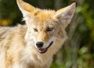 Approximately 180 coyotes in three states will be monitored by radio collar for 2 years.