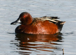 Cinnamon-Teal-Duck_Jerry-Kirkhart_W