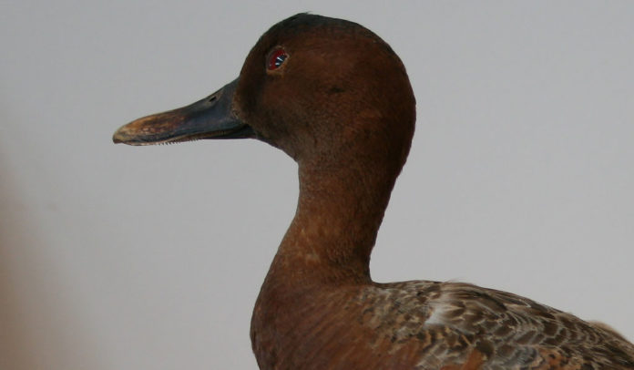 Cinnamon-Teal-Duck_born1945_W