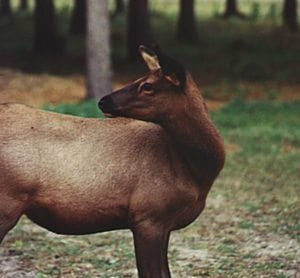 Cow Elk, Photo Bobby Badboy