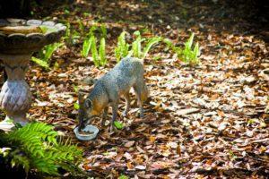 gray Fox_Kolin Toney