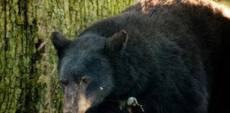 Black Bear, Poaching, Hunting Magazine