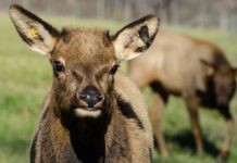 ELk calf in quarantine in Southern Wisconsin