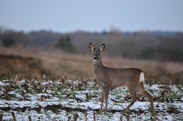 Vermont Fish & Wildlife Board votes to ban natural deer urine lures