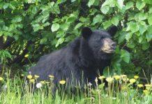 Black bear_ Doug Brown