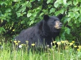 Black bear_ Doug Brown