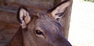 Doe Elk license Doe elk by Alan Wolf