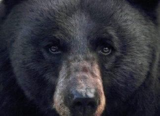 Black bear Attack: Hunitng Magazine