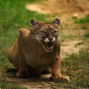 Cougar/Mountainlion,