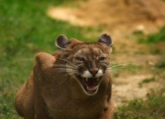 Cougar/Mountainlion,