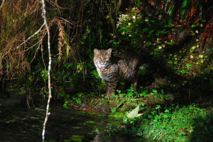 Bobcat Hunting - Hunting Magazine