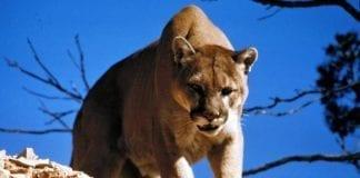 Hunting Cougar - Hunting Magazine