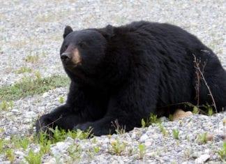 black bear attacks elderly woman