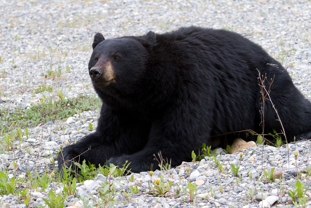 montana black bear attack attributed to illegal feeding