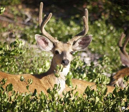 Whitetail Deer Buck in Food Plot