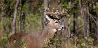 Horny White-tail Deer Buck