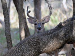 white-tail deer_huntingmagazine