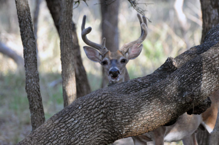 white-tail deer_huntingmagazine