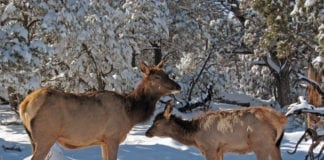 three Elk cows and one elk calf poached in Idaho