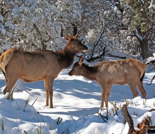 three Elk cows and one elk calf poached in Idaho