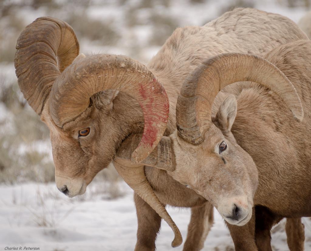 Pneumonia Still Big Problem for Bighorn Sheep | Hunting Magazine