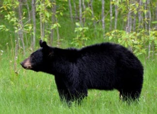 Trash Encourages Black Bears to Stay