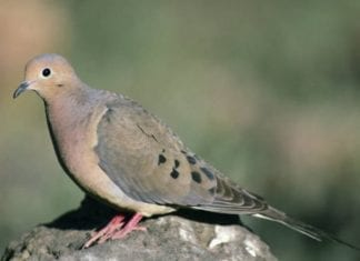 Hunting Mourning Doves - Hunting Magazine