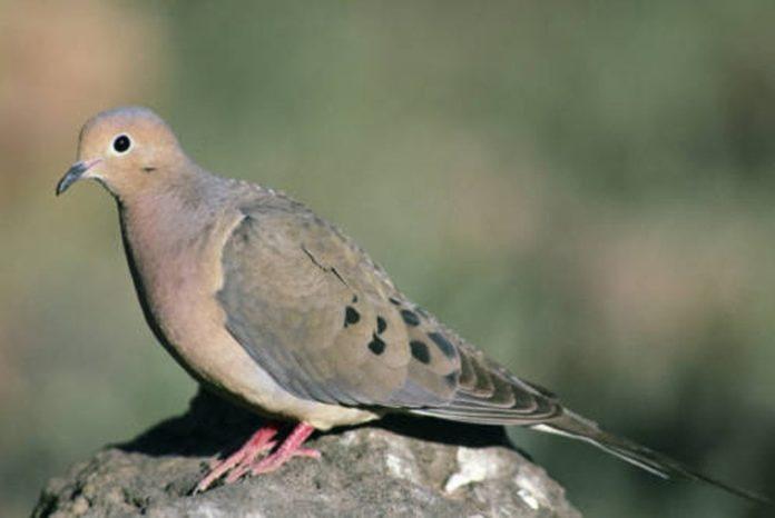 Hunting Mourning Doves - Hunting Magazine