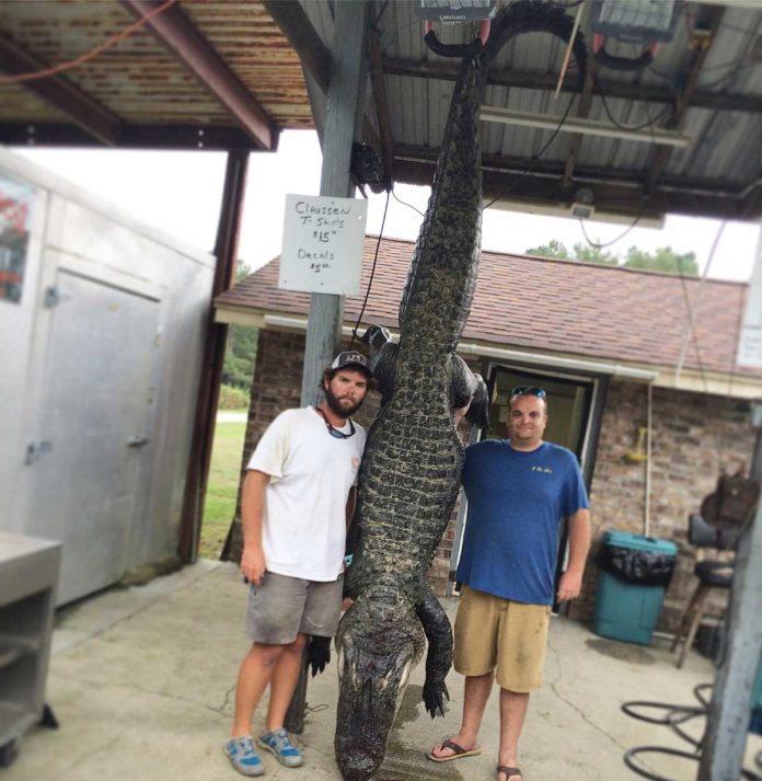 Brad & Hunter with their Massive 603lbs South Carolina Gator