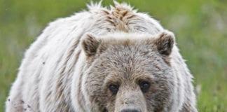 Hunters Urged To Be Bear Aware
