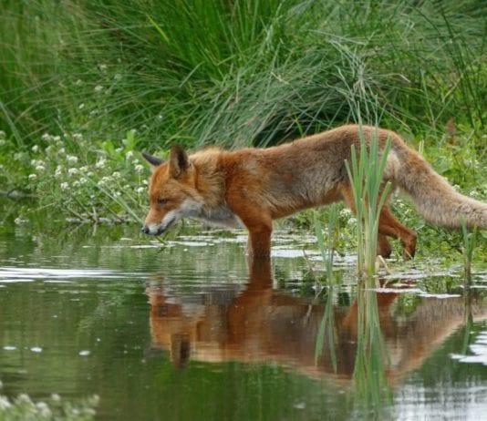 Fox Hunting - HuntingMagazine.net
