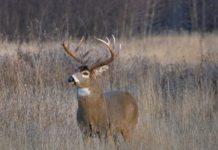 White-tail Buck Deer
