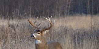White-tail Buck Deer