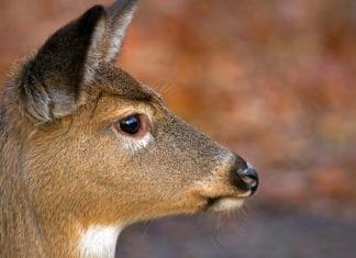 Antlerless Whitetail Deer
